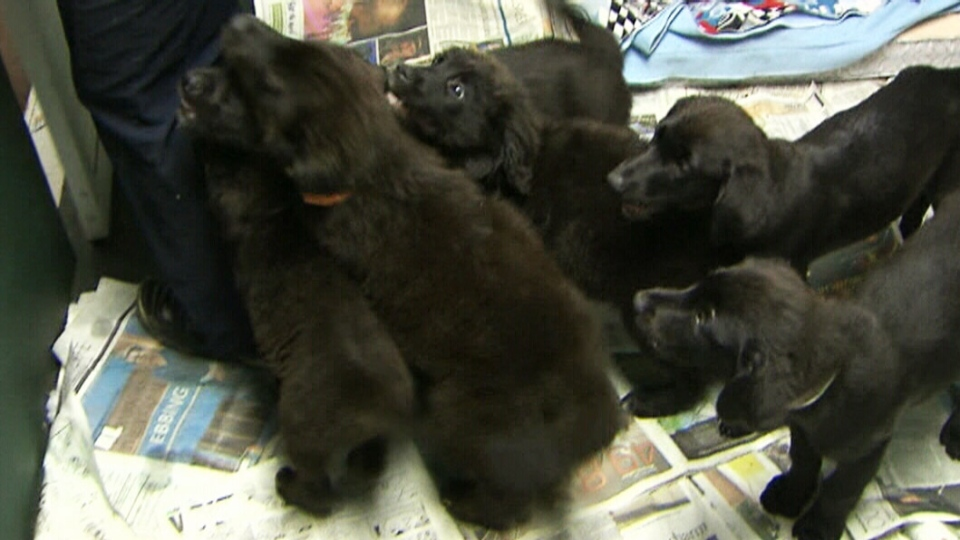 The seven puppies are being kept at a Winnipeg shelter for at least another two weeks to recover.