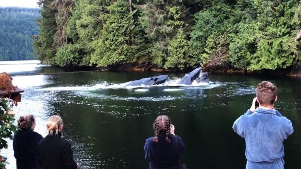 humpback whale great bear lodge