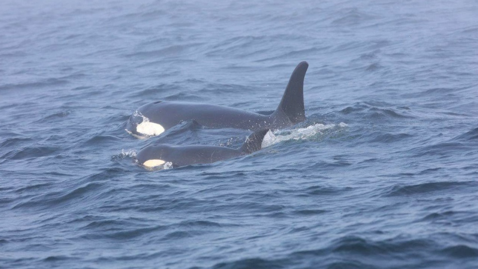 J50, an emaciated and endangered killer whale that scientists feared could be dead has been spotted swimming in the waters off Vancouver Island. THE CANADIAN PRESS/HO-Department of Fisheries and Oceans