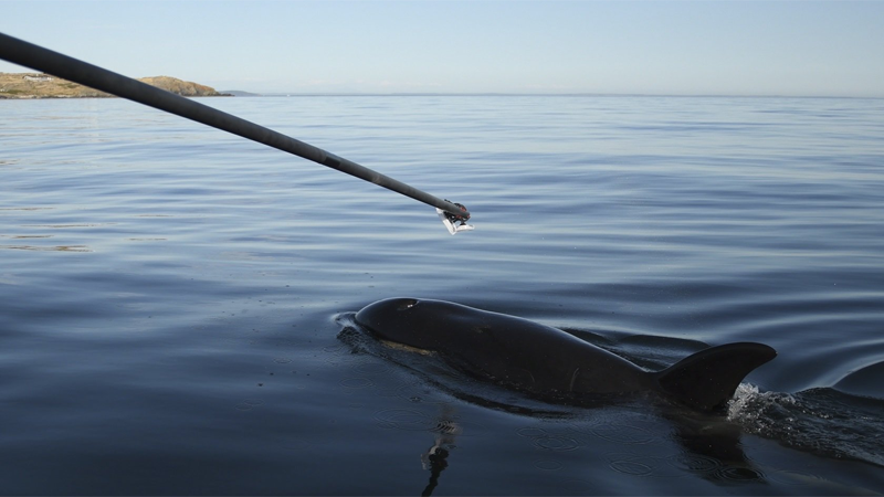 Scientists collect a breath sample from ailing orca J50 near San Juan Island on Thursday, Aug. 9, 2018. (Twitter/NOAAFish_WCRO)