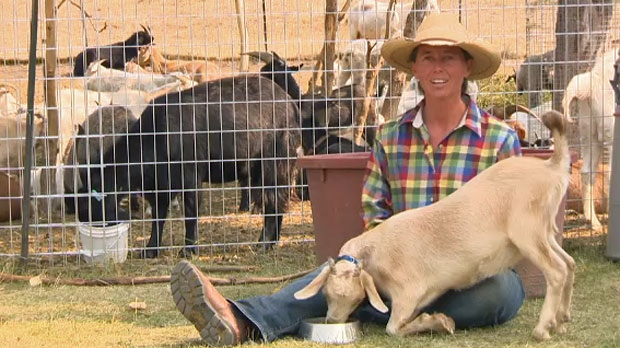 Cailey Chase and her goats take refuge in the shade on Calgary's hottest day