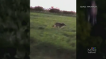 Coyote encounter leaves neighbours on alert