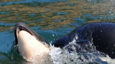 Orca mother back to feeding after 'tour of grief'