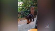 Bear visits PoCo Starbucks