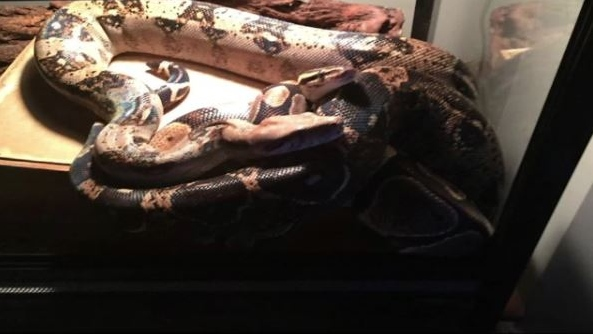 Murphy the boa constrictor
