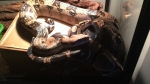 Murphy the boa constrictor escaped from a home on Lanark Avenue in Ottawa. (Kijiji)