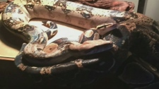 Boa constrictor on the loose after it escapes hom