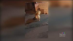 Dog stops catfight