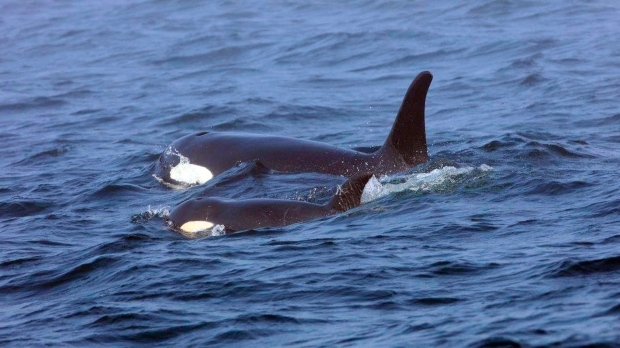Live Salmon Released For Ailing Orca But She Doesn 39 T Eat