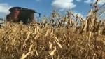 Southern Alberta wheat harvest