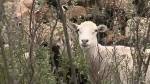 Meewasin brings in sheep to improve swale