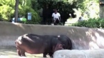 Man breaches zoo enclosure, slaps hippo