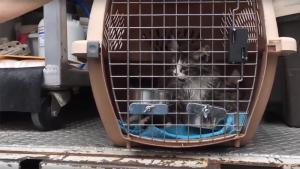 Dozens of animal evacuees from B.C.'s Cariboo region arrive in the Lower Mainland. (YouTube/SPCA)
