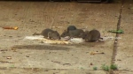 Rat-infested neighbourhood turns to city for help