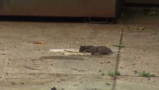 Rats eating near a dumpster