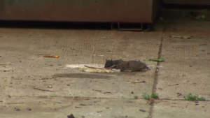 Pest control professionals say the warmer weather has increased breeding in rats.