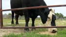 Drought in Manitoba could impact beef prices