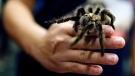 A Honduran curly hair tarantula is held by University of Georgia's Brandy Winkler during an interactive program showcasing the university's Bug Zoo, at the Athens-Clarke County Library in Athens, Ga., Tuesday, Feb. 6, 2018. (Joshua L. Jones/Athens Banner-Herald via AP)