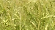 Crops suffering in dry conditions