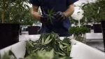 Workers produce medical marijuana at Canopy Growth Corporation's Tweed facility in Smiths Falls, Ont., on Monday, Feb. 12, 2018. Constellation Brands has signed a deal to invest $5 billion in Canopy Growth Corp. to increase its stake in the marijuana company to 38 per cent.THE CANADIAN PRESS/Sean Kilpatrick