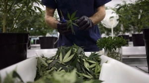 Workers produce medical marijuana at Canopy Growth Corporation's Tweed facility in Smiths Falls, Ont., on Monday, Feb. 12, 2018.THE CANADIAN PRESS/Sean Kilpatrick