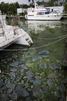 Patches of algae are seen at Paradise Marina