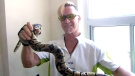 'Snake man' pulls reptile out of Toronto couple's