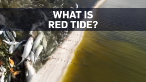 Fish dying on a massive scale: What is 'red tide'?