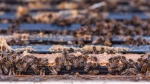 Bees are seen in Keremeos, B.C. on March 10, 2017. (Jeff Bassett/ The Canadian Press)