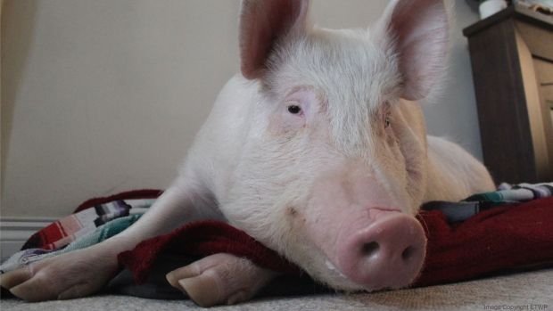 Esther is seen in this photo on the Facebook page 'Esther the Wonder Pig.' (Facebook)
