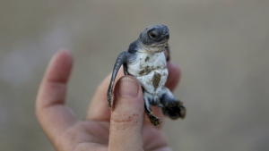 A conservationist holds up a tiny sea turtle that just hatched from its nest on Cyprus' protected Lara beach on on Thursday, Aug. 9, 2018. (AP Photo/Petros Karadjias)