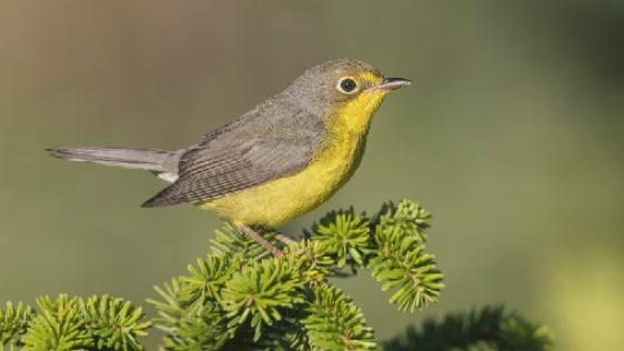 The mossy forests and wetlands will provide important habitat for several species of birds, including the threatened Canada warbler.