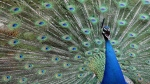 In this file photo from April 26, 2014, a male peacock displays its tail feathers at Gut Aiderbichl in Henndorf, Austria. One of the peacocks that roam freely on the Calgary Zoo grounds has died after it flew into the windshield of a golf cart. (Kerstin Joensson / The Associated Press)