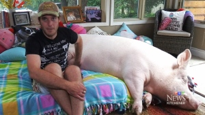 Wonder Pig's family optimistic about cancer