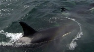 Conservation groups call for plan to protect orcas