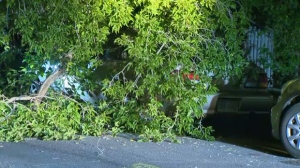 Two cars crushed under fallen tree branch in southwest Calgary | CTV News
