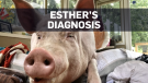esther the pig