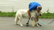 Three-legged dog gets prosthetic