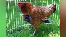 Booming business of Luxury chicken diapers