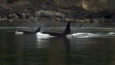 NGOs call for new regulations to protect orcas
