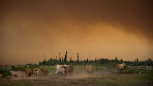 Cattle run on a ranch as the Shovel Lake wildfire burns in the distance sending a massive cloud of smoke into the air near Fort St. James, B.C., on Friday August 17, 2018. THE CANADIAN PRESS/Darryl Dyck