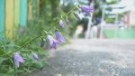 A flower in a Lachine alley