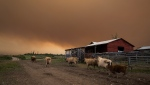 Cattle run on a ranch as the Shovel Lake wildfire burns in the distance sending a massive cloud of smoke into the air near Fort St. James, B.C. on Friday August 17, 2018. THE CANADIAN PRESS/Darryl Dyck