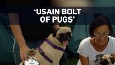 fastest pug