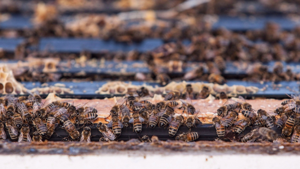 Bees are seen in Keremeos, B.C. on March 10, 2017. THE CANADIAN PRESS/Jeff Bassett