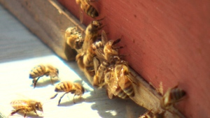 This Canadian beekeeper is trying to breed super b