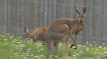 Kangaroo at the Brantford Twin Valley Zoo