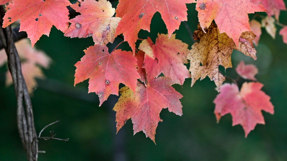 Researchers in the U.S. are studying compounds found in maple leaves that appear to have anti-wrinkle properties, though it has not been tested on humans yet. (AP Photo/Charles Krupa)
