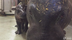 The Toronto Zoo is welcoming its new addition: a baby hippo. (The Toronto Zoo/Facebook)