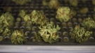 Cannabis buds lay along a drying rack at the CannTrust Niagara Greenhouse Facility in Fenwick, Ont., on Tuesday, June 26, 2018. THE CANADIAN PRESS/ Tijana Martin